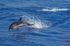 Dolphins in the Gulf of Genoa Royalty Free Stock Photo