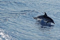 Dolphins in the Gulf of Genoa Royalty Free Stock Image