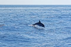 Dolphins in the Gulf of Genoa Royalty Free Stock Photography