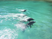 Dolphins having fun in Jamaica Royalty Free Stock Photo