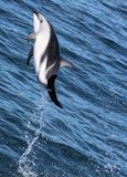 Dolphins having fun in the ocean during whale watching trip - New Zealand. Kaikōura royalty free stock image
