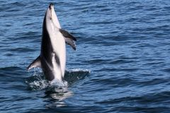 Dolphins having fun in the ocean during whale watching trip - New Zealand. Kaikōura royalty free stock photos