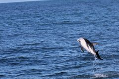Dolphins having fun in the ocean during whale watching trip - New Zealand. Kaikōura stock photo