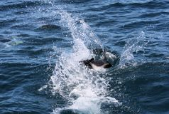 Dolphins having fun in the ocean during whale watching trip - New Zealand. Kaikōura stock image