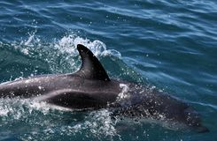 Dolphins having fun in the ocean during whale watching trip - New Zealand. Kaikōura stock photography