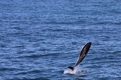 Dolphins having fun in the ocean during whale watching trip - New Zealand. Kaikōura stock photos