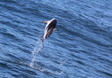 Dolphins having fun in the ocean during whale watching trip - New Zealand. Kaikōura royalty free stock photography
