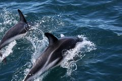 Dolphins having fun in the ocean during whale watching trip - New Zealand. Kaikōura royalty free stock images