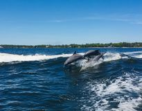 Dolphins having fun in the waves stock images
