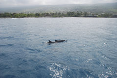 Dolphins Hawaii Royalty Free Stock Photos