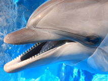 Dolphins Head Picture - Stock Photo Royalty Free Stock Photo
