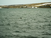 Dolphins in Husavik iceland Royalty Free Stock Image