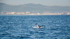 Dolphins inThe Strait of Gibraltar. Home to seven species of whales and dolphins stock image