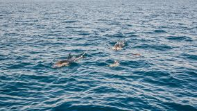 Dolphins inThe Strait of Gibraltar. Home to seven species of whales and dolphins stock photos