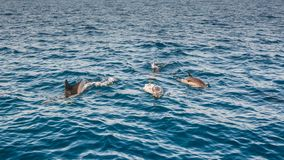 Dolphins inThe Strait of Gibraltar. Home to seven species of whales and dolphins royalty free stock photos