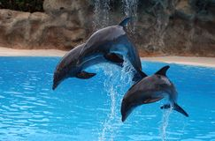 Dolphins jump out Royalty Free Stock Photography