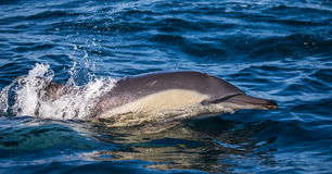 Dolphins jump out at high speed out of the water. South Africa. False Bay. Royalty Free Stock Photography
