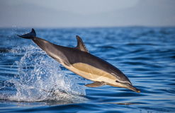 Dolphins jump out at high speed out of the water. South Africa. False Bay. Stock Photo