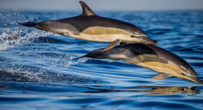 Dolphins jump out at high speed out of the water. South Africa. False Bay. Royalty Free Stock Photo