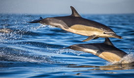 Dolphins jump out at high speed out of the water. South Africa. False Bay. Royalty Free Stock Photos