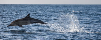 Dolphins jump out at high speed out of the water. South Africa. False Bay. Stock Images