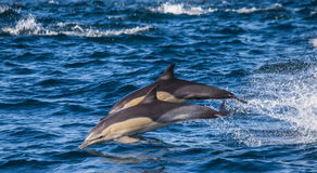 Dolphins jump out at high speed out of the water. South Africa. False Bay. Stock Photos