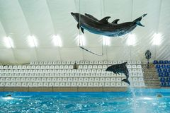 Dolphins jump over the crossbar. Two dolphins in training jumping over an obstacle Stock Photography