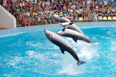Dolphins jump from the pool Stock Image