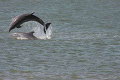 Dolphins jumping Stock Photos