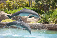 Dolphins Jumping. Two Dolphins jumping through the air stock photography