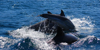 Dolphins jumping. Bottlenosed dolphins frolic in Loreto Bay, Baja, Mexico Stock Photos