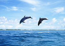 Dolphins Jumping Stock Photography