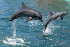 Dolphins jumping. Dolphins leaping out of the water Stock Photos
