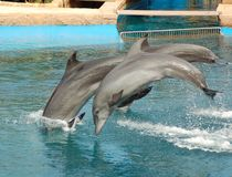 Dolphins Jumping. Dolphins performing synchronized swimming at an oceanarium in South Africa Stock Photo