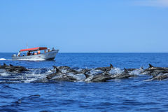 Dolphins jumping in Baja California. Several dolphins jumping and swimming off the coast of La Paz and close to Isla Espiritu Santo in Baja California, Mexico Stock Photos