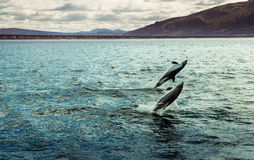 Dolphins jumping Stock Photo