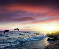 Dolphins Jumping . Beautiful dolphin jumping from shining water. Landscape at sunset . Serenity nature background stock image