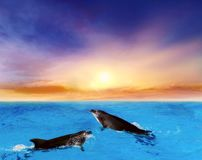 Dolphins Jumping . Beautiful dolphin jumping from shining water. Landscape at sunset royalty free stock images