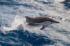 Dolphins while jumping in the deep blue sea Royalty Free Stock Photos