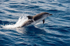 Dolphins while jumping in the deep blue sea Stock Photo