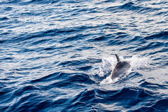 Dolphins while jumping in the deep blue sea Stock Image