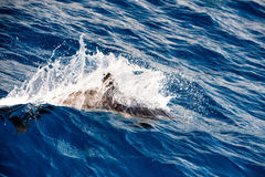 Dolphins while jumping in the deep blue sea Royalty Free Stock Image
