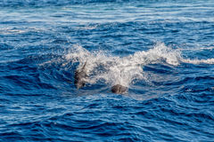 Dolphins while jumping in the deep blue sea Stock Photos