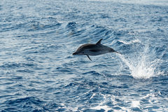 Dolphins while jumping in the deep blue sea Royalty Free Stock Photo