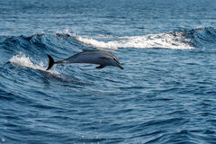 Dolphins while jumping in the deep blue sea Royalty Free Stock Images