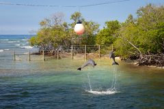 Dolphins in a dolphinarium in a mangrove by the sea. Dolphins jumping in a dolphinarium in a mangrove by the sea stock images