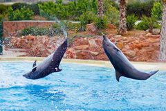 Dolphins jumping. In formation in an aquarium royalty free stock photo