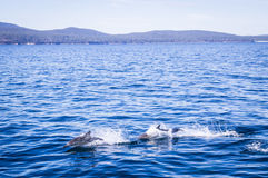 Dolphins jumping at Maria Island. Wild dolphin school jumping in front of Maria Island, Tasmania Stock Photo