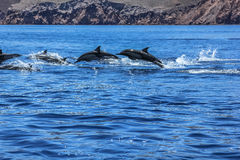 Dolphins jumping Mexico. Dolphins jumping near the coast of a Isla Espiritu Santo in Baja California royalty free stock image