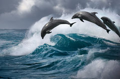 Three Beautiful dolphins jumping from ocean wave. Dolphins jumping from ocean storming water. Sea waves with leaping marine animals Stock Photos